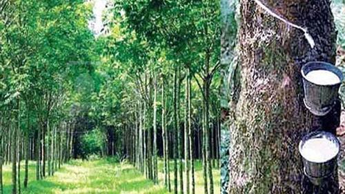 ধ্বংসের দ্বারপ্রান্তে শাহজীবাজার রাবার বাগান