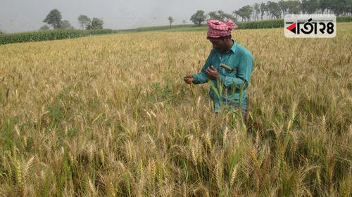 ঝিনাইদহে গমে ব্লাস্ট, দিশেহারা কৃষক