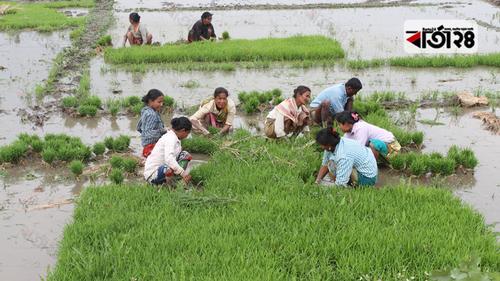 ঠাকুরগাঁওয়ে বোরো মৌসুমে লাভ নিয়ে চিন্তায় কৃষকরা