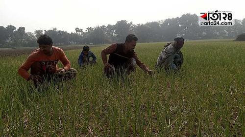 নাটোরে পরিকল্পিত রসুন উৎপাদন কমাবে আমদানি ঘাটতি