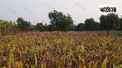 আমের রাজধানী চাঁপাইনবাবগঞ্জে হলুদের বাম্পার ফলন