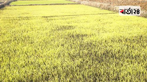 পীরগাছায় কোল্ড ইনজুরিতে বীজতলা, দুশ্চিন্তায় কৃষক