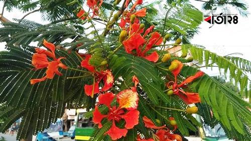 করোনায় সৌন্দর্য বিলিয়ে যাচ্ছে কৃষ্ণচূড়া