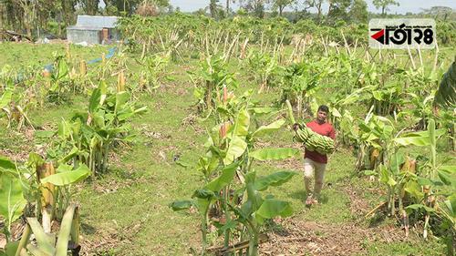 যশোরে ঘূর্ণিঝড় আম্পানে ফসল হারিয়ে দিশেহারা কৃষক