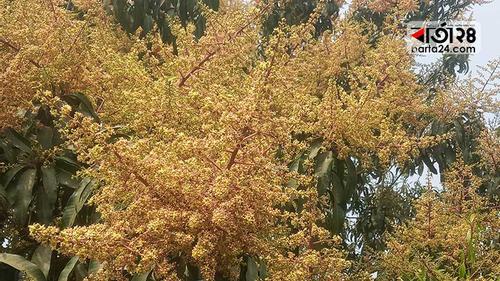 মৌ মৌ মুকুলের গন্ধ আমের রাজধানী চাঁপাইনবাবগঞ্জে
