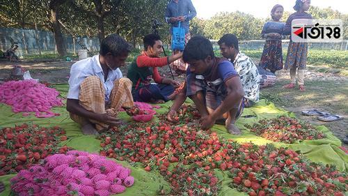 আমের রাজ্য চাঁপাইনবাবগঞ্জে স্ট্রবেরি চাষে সাফল্য