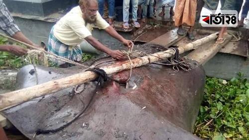 পদ্মায় ধরা পড়ল ১০০ কেজির হাউস মাছ