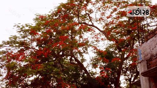 গ্রীষ্মের তপ্ত রোদে স্নিগ্ধ 'কৃষ্ণচূড়া'
