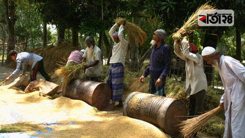 গাইবান্ধায় বোরো ধান ঘরে তুলতে ব্যস্ত কৃষকরা
