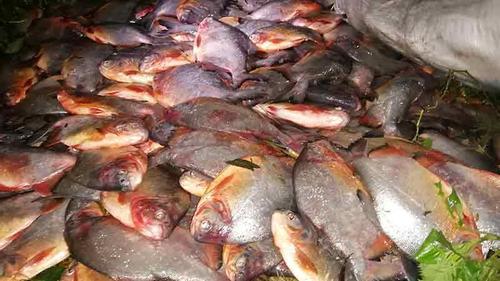 ঠাকুরগাঁওয়ে নিষিদ্ধ পিরানহা মাছ জব্দ