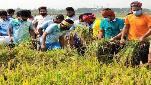 কৃষকের ধান কেটে দিল কুষ্টিয়া জেলা ছাত্রলীগ