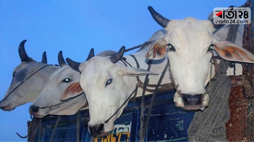 চাঁপাইনবাবগঞ্জে ১৭টিভারতীয় গরু জব্দ