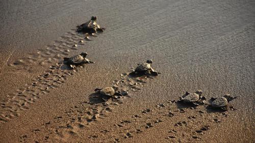 Endangered baby sea turtles hatch in Turkish beach