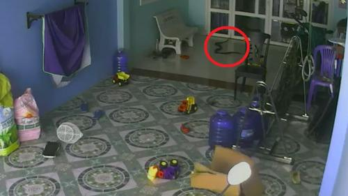 King Cobra tries to follow child indoors in hair-raising video