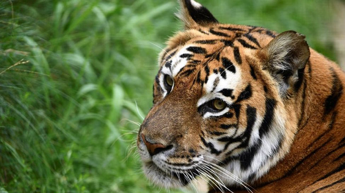 Tiger poaching suspect arrested
