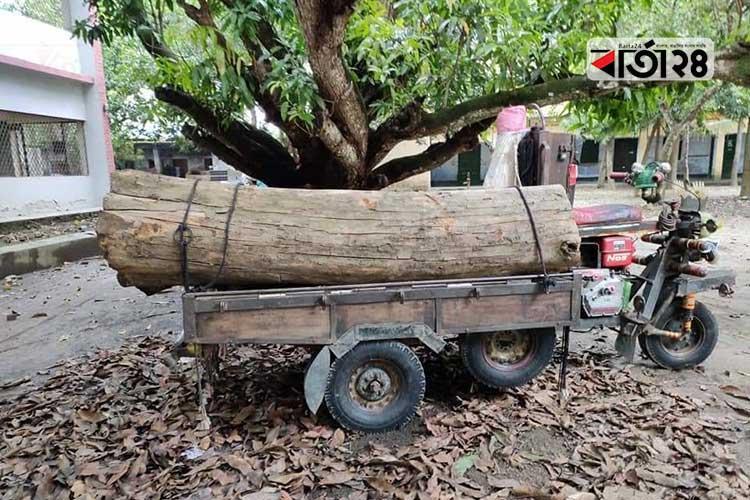 জীবননগর উপজেলা পরিষদ থেকে কাটা গাছ। ছবি: বার্তা২৪.কম