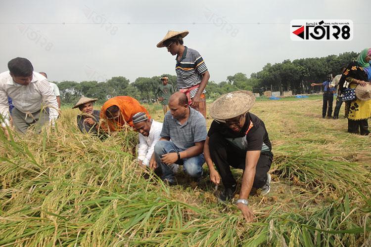 চুয়াডাঙ্গায় কৃষকের সঙ্গে ধান কাটলেন জেলা প্রশাসক