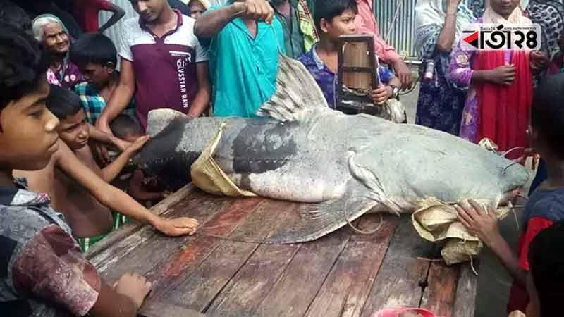 ৮২ কেজি ওজনের বাঘাইড় মাছ, ছবি: বার্তাটোয়েন্টিফোর.কম